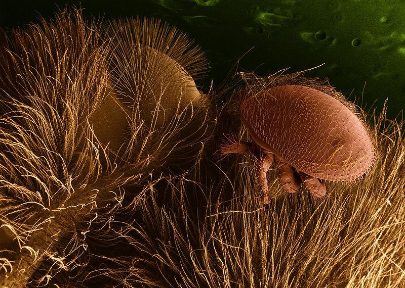 Varroamilbe auf Honigbiene