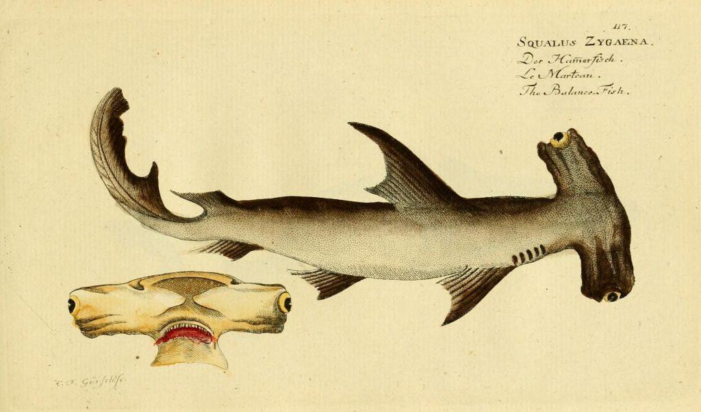 Haie in der Ostsee: Hammerhai